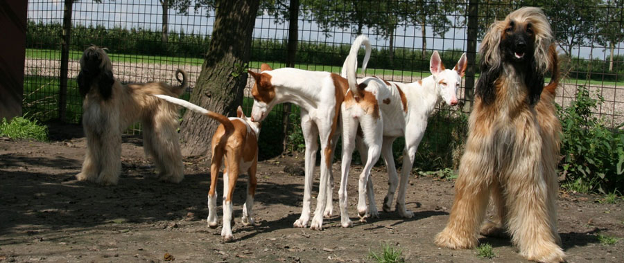 afghanen-podenco-kennel.jpg